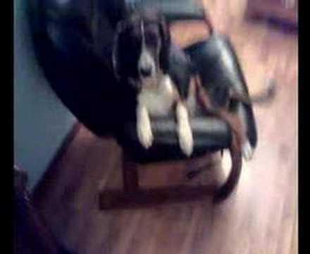 Mi perro Ron (Beagle Harrier) 9 meses