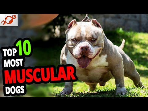 🐕-muscular-dogs-–-top-10-most-muscular-dog-breeds-in-the-world!