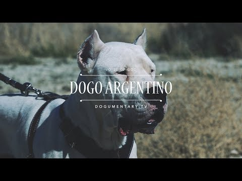THE VOICE OF GOD: DOGO ARGENTINO