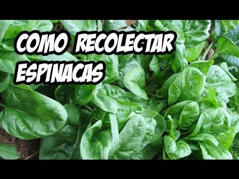 Como recolectar las espinacas huerto organico youtube for Espinacas como cocinarlas