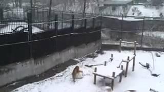 Тигрица лепит снеговиков