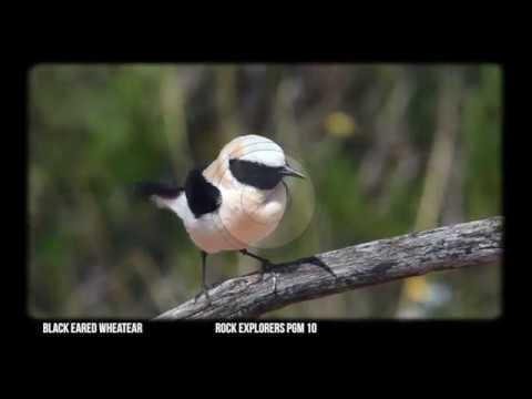 Black Eared Wheatear - Through the Lens 10