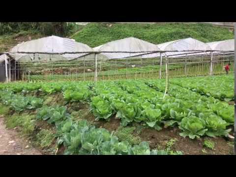Cameron Highlands Vegetables plantation