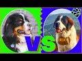 Bernese Mountain Dog Vs Saint Bernard Dog vs Dog Which is Better? の動画、YouTu…