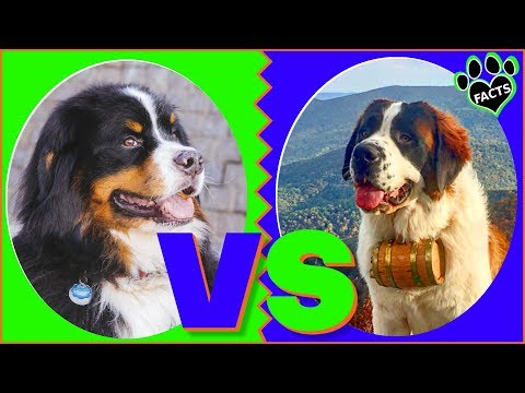 Bernese Mountain Dog Vs Saint Bernard Dog vs Dog Which is Better?