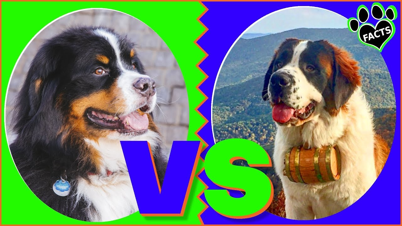 Bernese Mountain Dog Vs Saint Bernard Dog Vs Dog Which Is Better