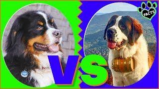 Bernese Mountain Dog Vs Saint Bernard Dog vs Dog Which is Better?