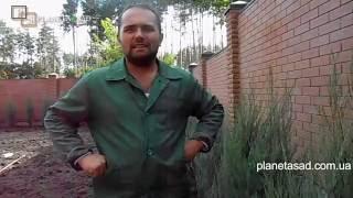 видео Можжевельник скальный Skyrocket