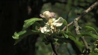 видео Борьба с яблоневым цветоедом