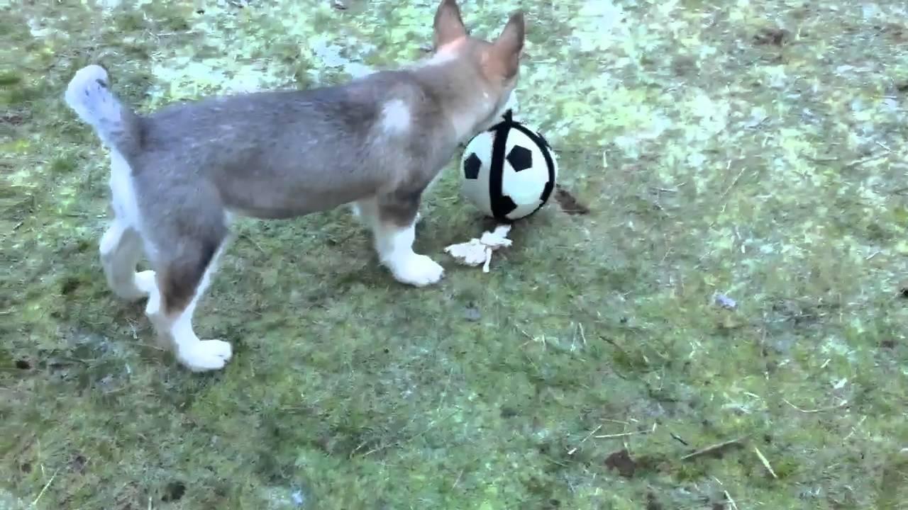 Suka 12 week old malamute playing - YouTube