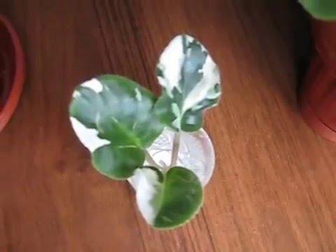 Фиалка меняет цвет листьев и цветов, спонтанная пестролистность фиалки, перерождение фиалки.