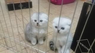 НУ ОЧЕНЬ КРАСИВЫЕ КОТЯТА! 😻 ВЫБРАЛИ ИМЕНА КОТЯТАМ 🐱 Kitten Scottish Fold Cat