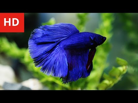 Beauty Of Variety Betta Fish - HD 1080p