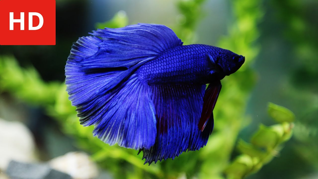 Beauty Of Variety Betta Fish Hd 1080p Youtube