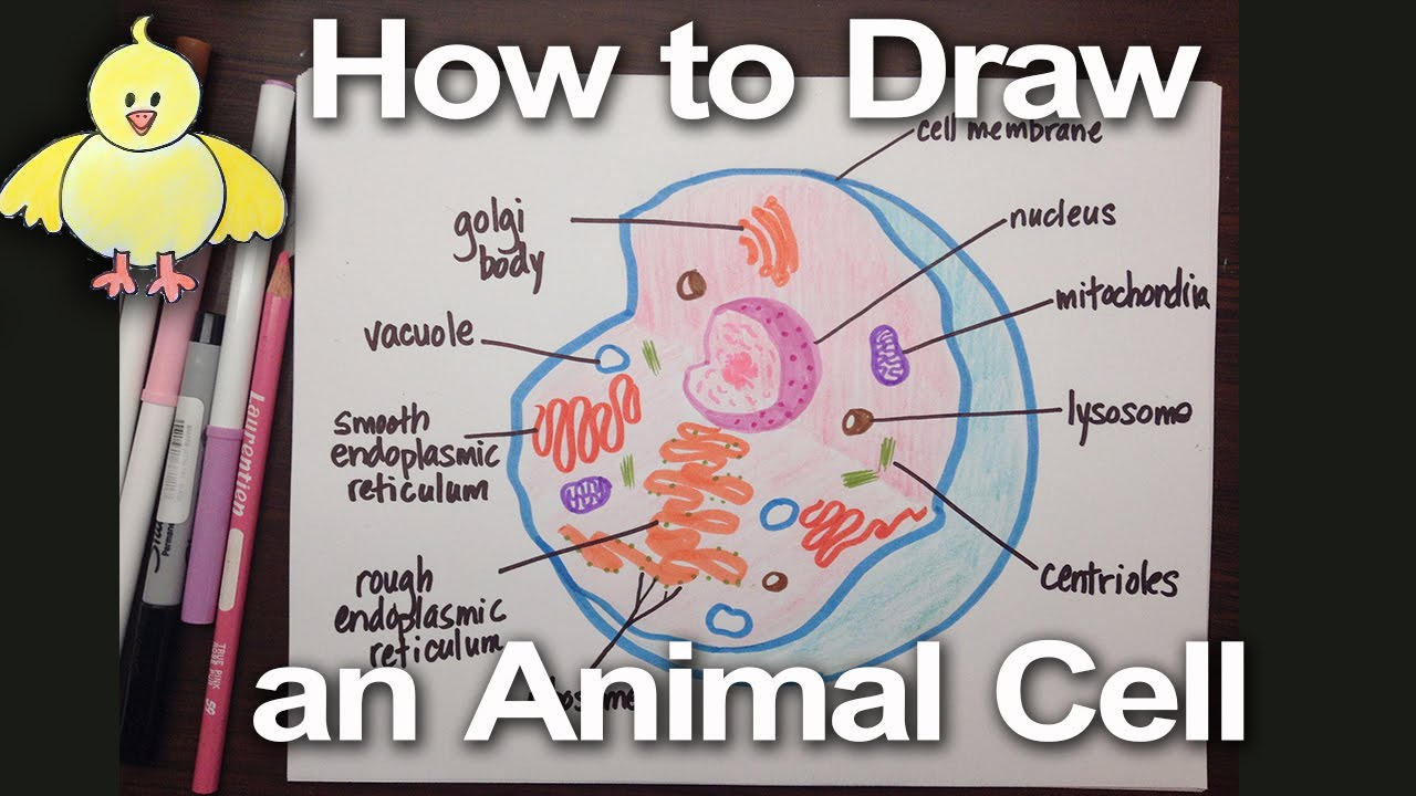 how to draw an animal cell diagram homework help doodledrawart youtube [ 1280 x 720 Pixel ]