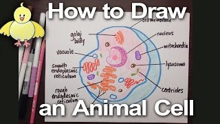 How to Draw an Animal Cell Diagram -Homework Help | DoodleDrawArt