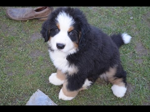 Bernese Mountain Dog Puppies (Chiots Bouviers Bernois) - Part 2