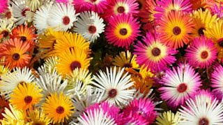 How to Grow ice Plant a fast