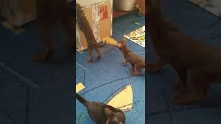 Ориентальные котята из питомника г.Омск