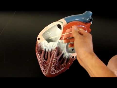 CIRCULATORY SYSTEM ANATOMY: Blood flow through heart chamber model description