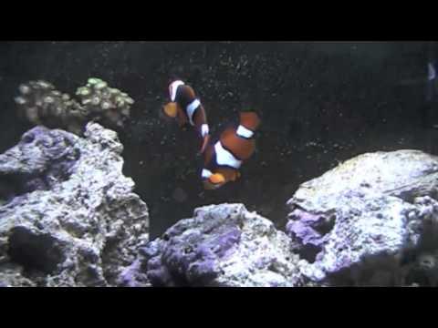 Cute Clown Fish @ Dobbies Garden Centre