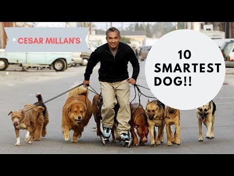 Top 10 smartest dog 2019 || Top 10 most intelligent dogs 2019