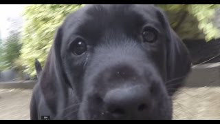 Ted Labrador Puppy Training, Tricks 8 Weeks Old