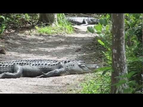 Alligators at Shark Valley, Everglades, FL