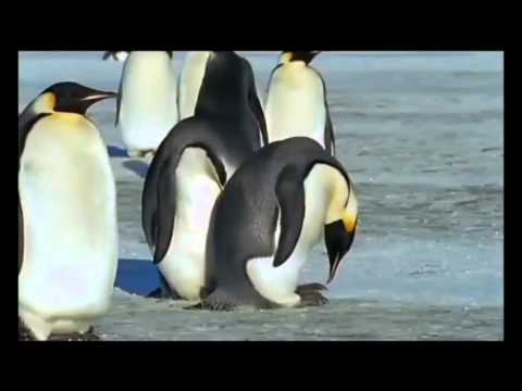 emperor penguin mating