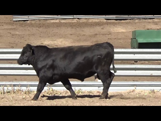 Connealy Angus Lot 134
