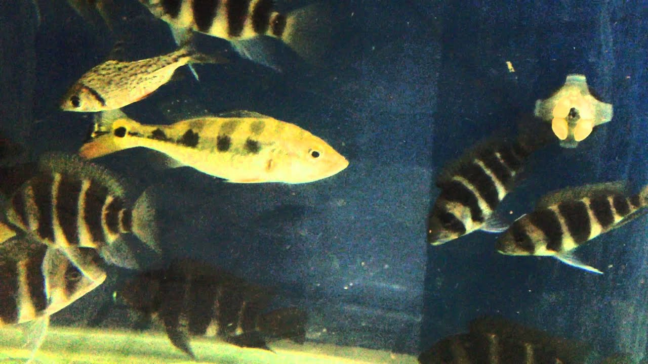 Fish aquarium in janakpuri - Peacock Bass Tank Maintain By Narayan Ganguly Sona Plants Aquariums Delhi