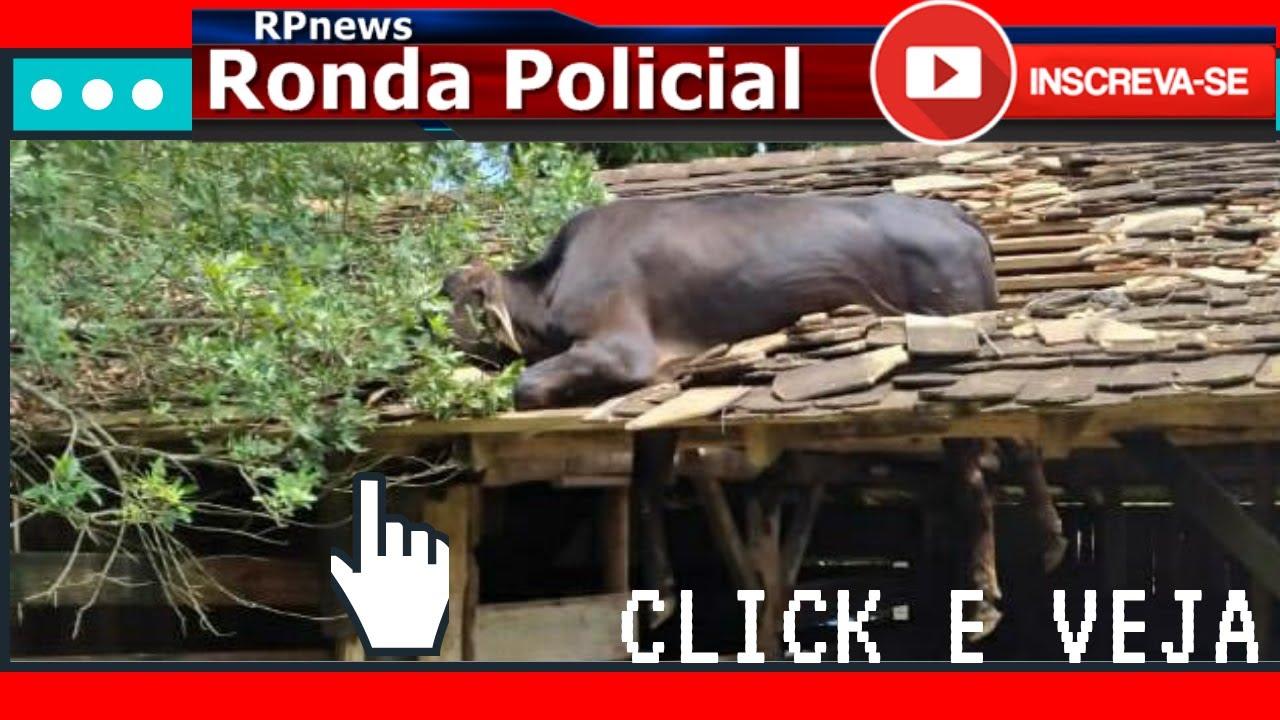 Resgate de uma vaca no telhado em Timbó SC