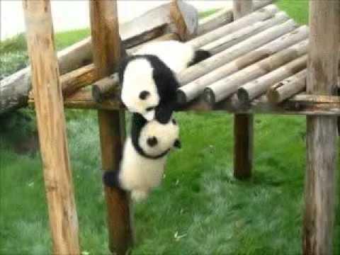 No caigas panda!! Video gracioso