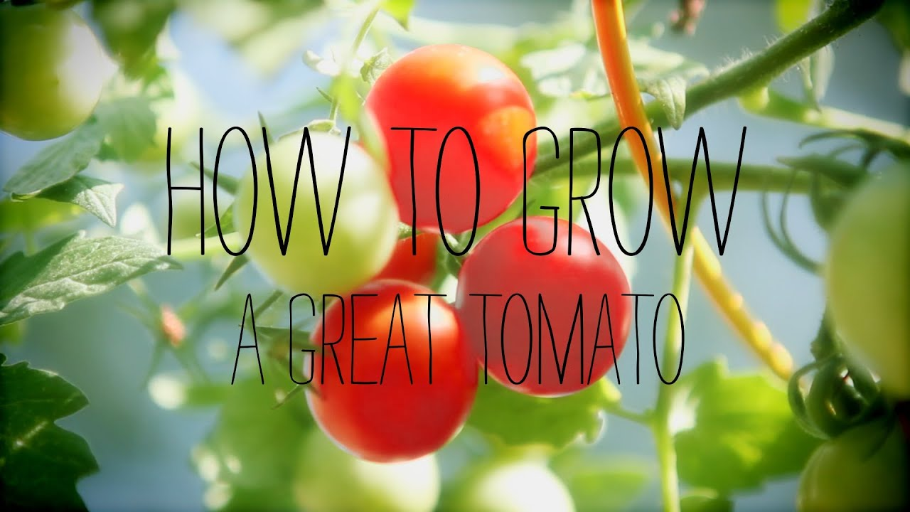 How to plant tomatoes in a garden - Tomato Gardening Tips