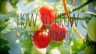 Tomato Gardening Tips