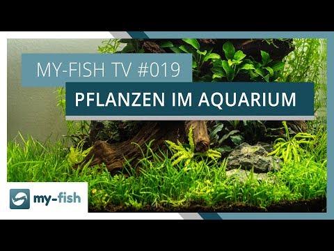 Echte Pflanzen im Aquarium | my-fish TV