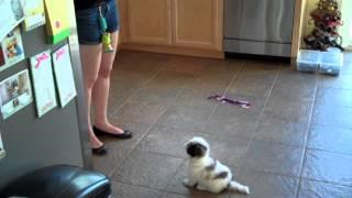 Cute Shih Tzu Puppy - Mini Cooper Falls Backwards