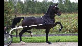 Dondersteen DHH Stallion 2013