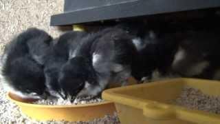 kuřata Maranska černá měděně krká - Black Copper Marans