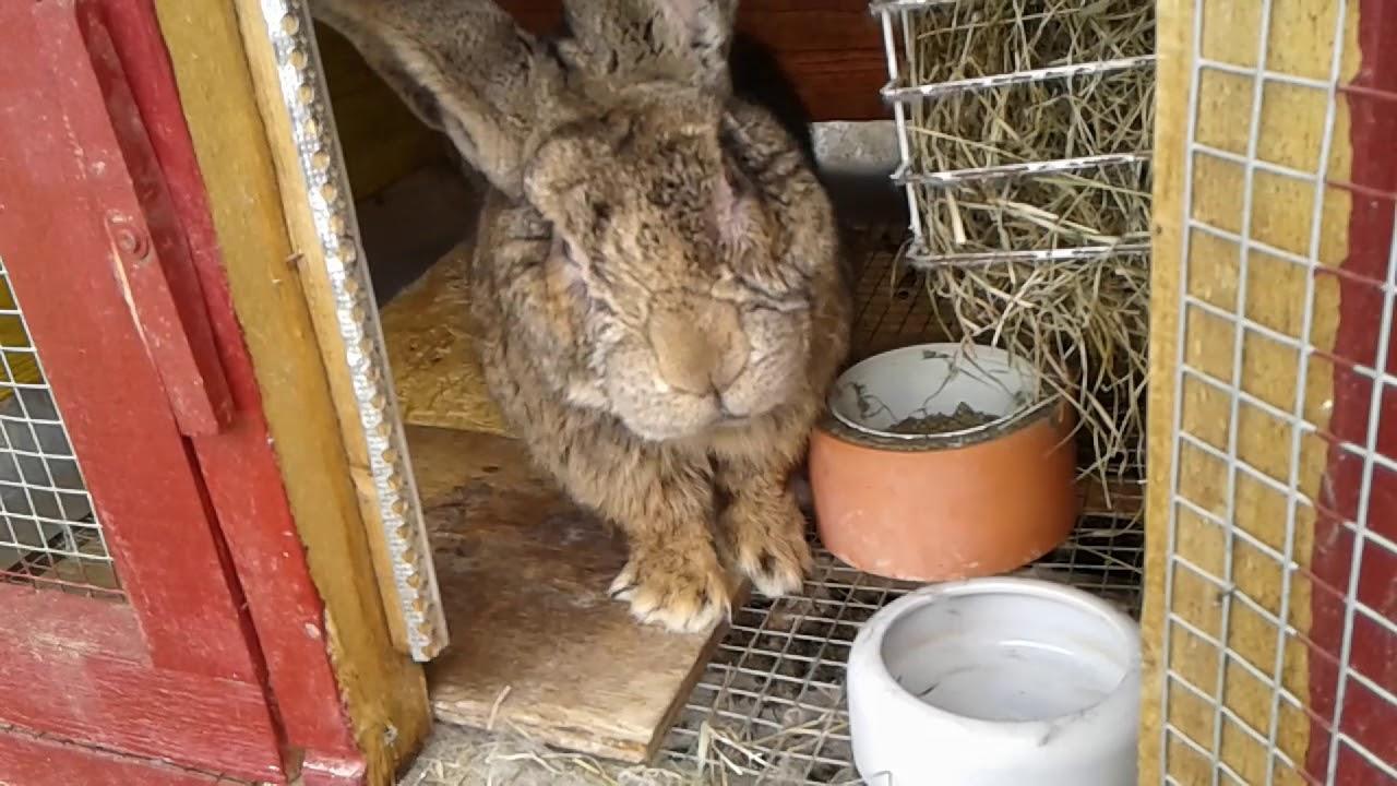 Лечение и профилактика пододерматита у кролей