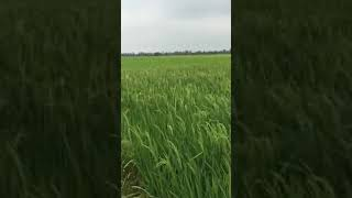 "Biological control of rice BLB by ""PHERO DARMA"""