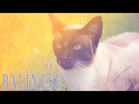 Ideal Companion: Balinese | Cat Breeding Videos