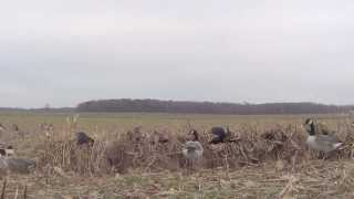 NW PA Goose Hunt. 18 Birds 10 Minutes