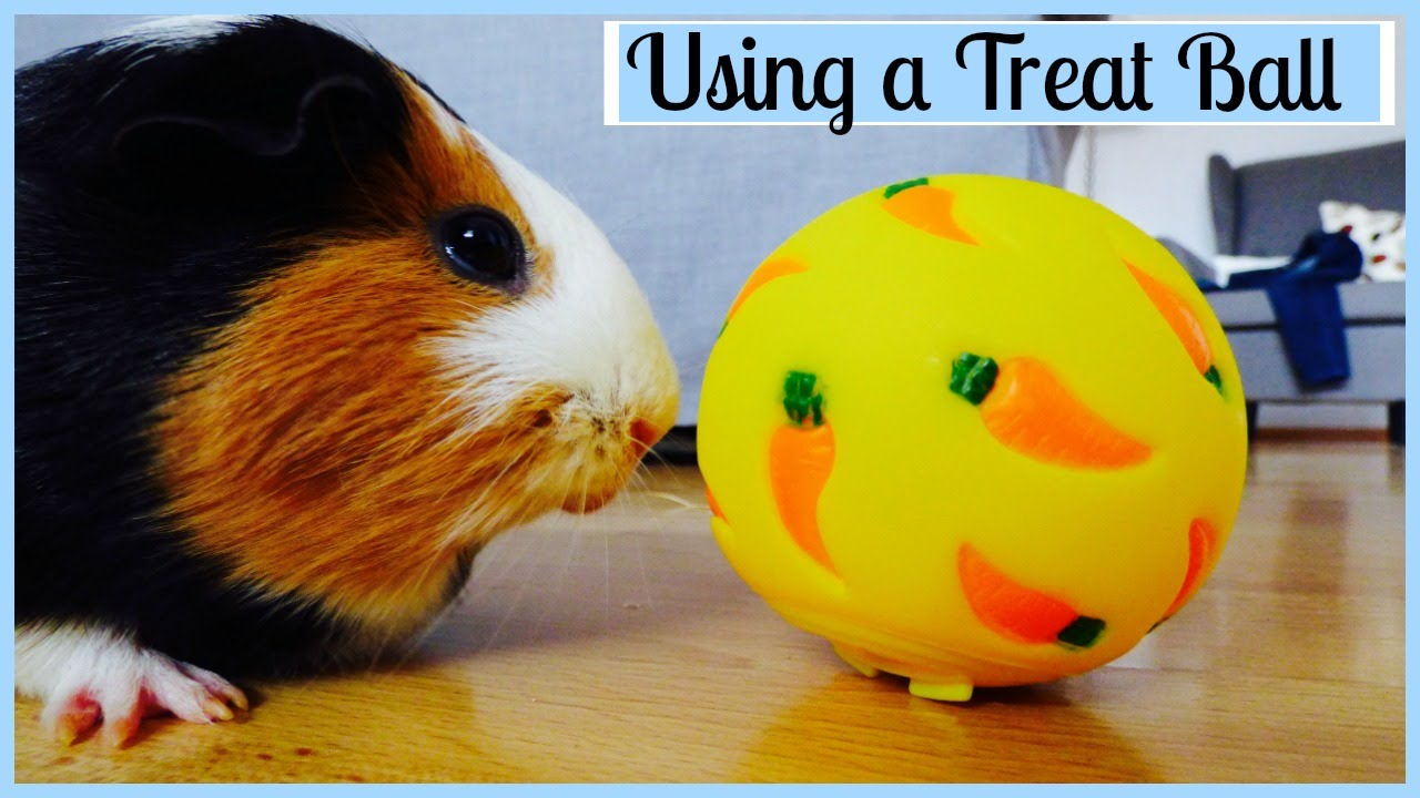 Training Your Guinea Pig to Use a Treat Ball  Chatty