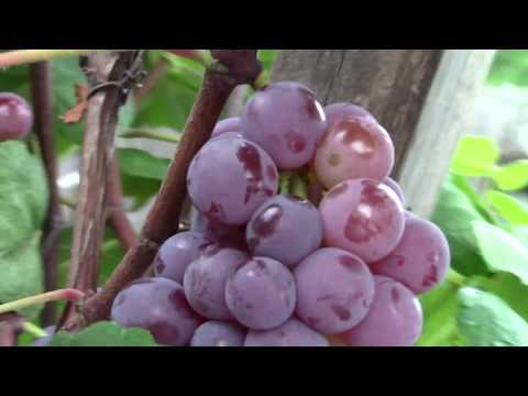 Can We Grow GRAPE in Central Florida (Orlando)? YOU MUST SEE