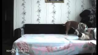 видео Как отучить собаку от кровати. Собака в доме.