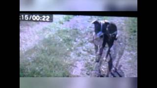 Pitbull Attacks Border Terrier!