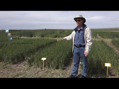 Dr. Rob Graf talks winter wheat varieties