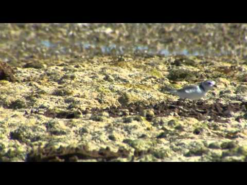 Birding Bahamas: Piping Plovers