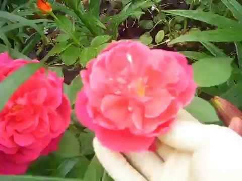 розы. выращивание роз. ВЫРАЩИВАНИЕ РОЗ В ОТКРЫТОМ ГРУНТЕ